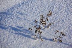 torr burdock Det torkade-upp taggiga gräset på snö fotografering för bildbyråer
