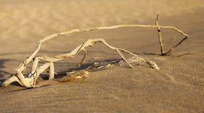 Torr buske i öknen i UAE Arkivfoton