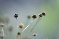 torr chamomile arkivbild