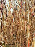 Torr cornfield Royaltyfri Fotografi