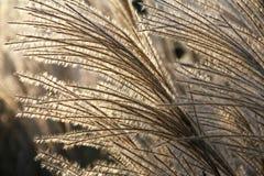 Torr dekorativ växt i ett solljus. Bakgrund. Royaltyfri Fotografi