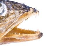 Torr fisk för öppen mun royaltyfri foto