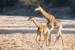 Torr flodsäng för två giraff som korsning söker efter nya träd Arkivfoton