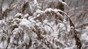 Torr goldenrod blommaväxt som svänger i ultrarapid i snö arkivfilmer