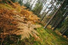 Torr gul ormbunke för höstskog på förgrund Royaltyfri Fotografi