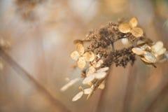 Torr höstvanlig hortensia Fotografering för Bildbyråer