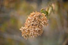 Torr höstvanlig hortensia Arkivfoto