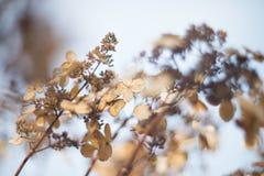 Torr höstvanlig hortensia Arkivbild