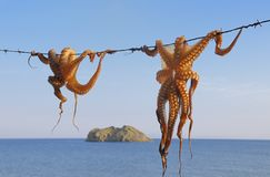 torr hängande bläckfisk till upp Arkivbilder