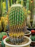 Torr kaktus i trädgården Royaltyfria Foton