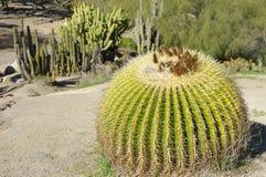 Torr kaktusträdgård Royaltyfria Bilder