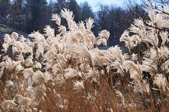 Torr kines försilvrar gräs i brigthsolljus royaltyfri foto