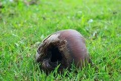 Torr kokosnöt på det gröna gräset Royaltyfria Foton