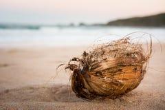 Torr kokosnöt på sanden Arkivfoto