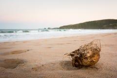 Torr kokosnöt på sanden Arkivbilder