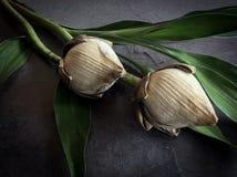 torr lotusblomma Arkivfoton