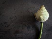 torr lotusblomma Fotografering för Bildbyråer