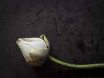 torr lotusblomma Arkivfoto