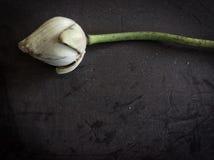 torr lotusblomma Arkivbild