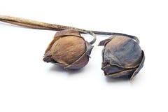Torra lotusblommablommor Arkivbild