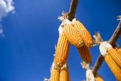 Torr majs som hänger över bakgrund för blå himmel, bakgrund för sommarväderbegrepp Royaltyfri Bild