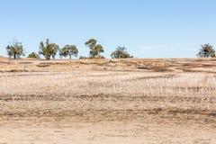Torr paddock efter veteskörd med rad av träd arkivbild
