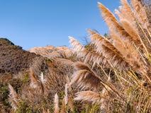 Torr pampasgräs i Kalifornien royaltyfri fotografi