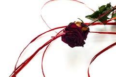 Torr röd ros med ett rött band på vit bakgrund Arkivfoto