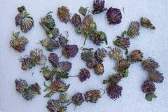 Torr röd växt av släktet Trifolium på neutral grå bakgrund Top beskådar Arkivbilder