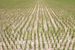 Torr risfält Arkivbild