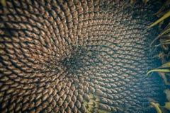 Torr solrosväxt med frö Fotografering för Bildbyråer