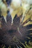 Torr solrosväxt med frö Royaltyfri Foto