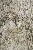 Torr textur för skällträd Fotografering för Bildbyråer