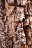 Torr textur för skällträd Arkivfoton