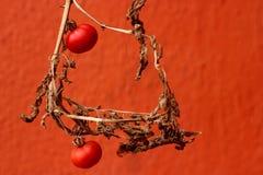 torr tomat Arkivfoto