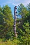 Torr trädstam bland de nya gröna träden Royaltyfri Bild