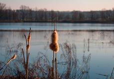 Torr Typhalatifolia nära dammet fotografering för bildbyråer