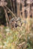 Torr växt i höstgrå färgbakgrund Arkivfoto