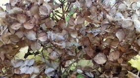 Torr vanlig hortensiablomma Arkivfoto