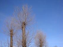 Torr vinterträd med sågat och bevuxet med nya filialer av den blåa himlen royaltyfri fotografi