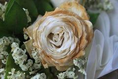Torr vit steg efter valentindagen, den bleknade rosen, abstrakt begreppförälskelse Royaltyfri Foto