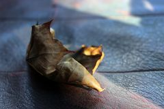 Torra Autumn Leaf på läder arkivbilder