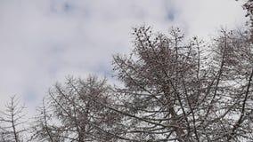 Torra filialer som trädet med sörjer kottar, övervintrar snölandskapnaturen stock video