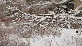 Torra filialer som trädet med sörjer kottar, övervintrar snönaturlandskap arkivfilmer