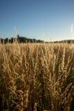Torra gras i solnedgången mot solen arkivfoton