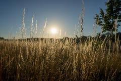 Torra gras i solnedgången mot solen royaltyfri foto