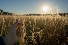 Torra gras i solnedgången mot solen med manligt trycka på för hand royaltyfria bilder