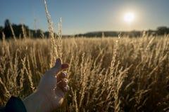 Torra gras i solnedgången mot solen med manligt trycka på för hand fotografering för bildbyråer