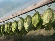 torra hängande leaves till tobak Royaltyfri Foto