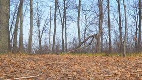 Torra höstsidor på jordningen och sällsynta kala träd mot blå himmel stock video